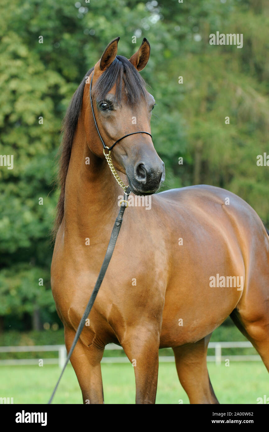 Young Brown Arabian Horse Mare With Show Halter Stock Photo Alamy