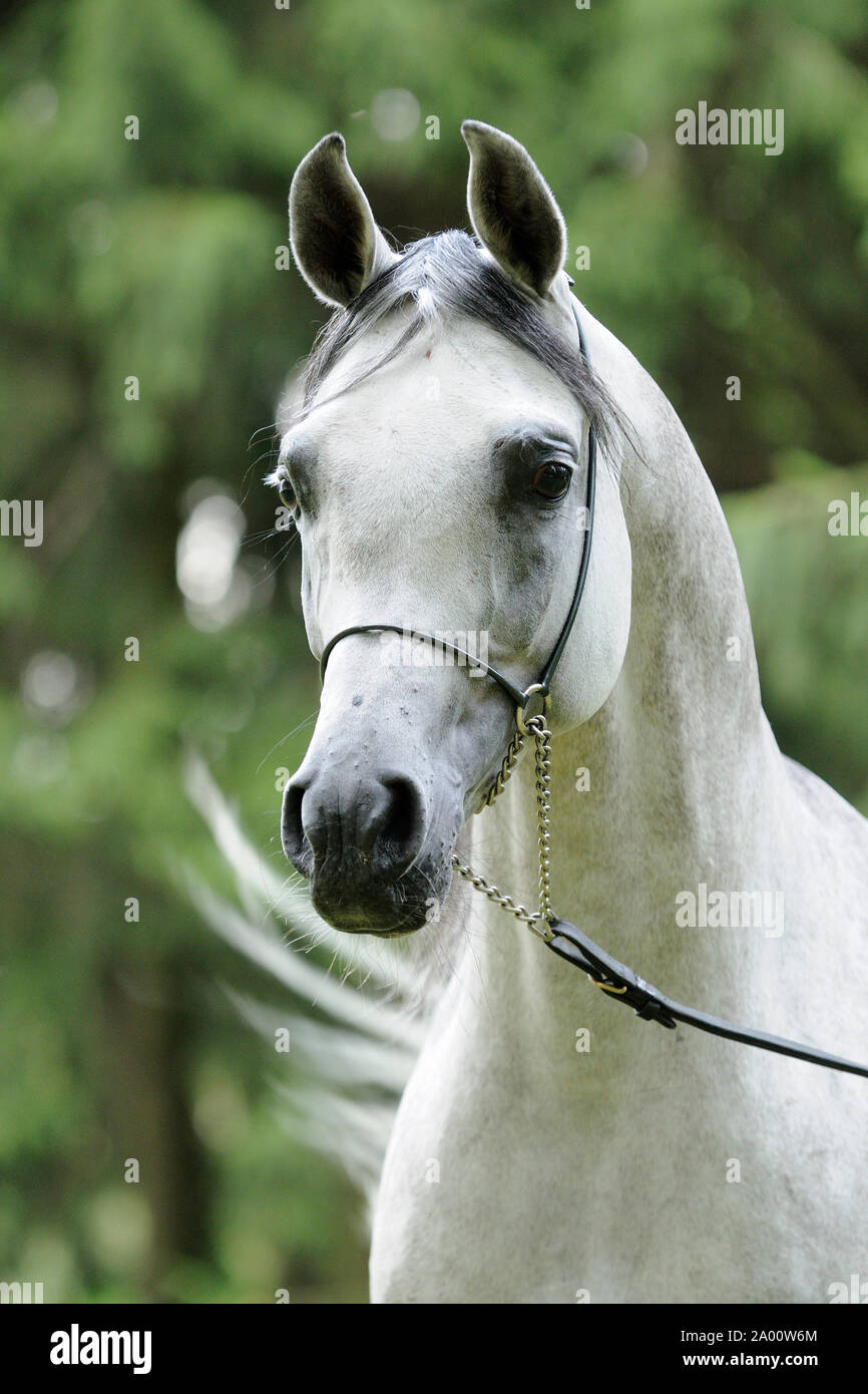 Gray Arabian Horse Stallion With Show Halter Stock Photo Alamy