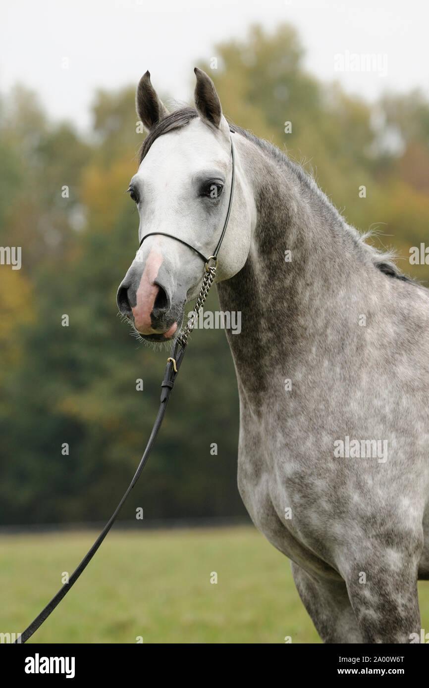 Arabian Horse Gray Stallion Stock Photo Alamy