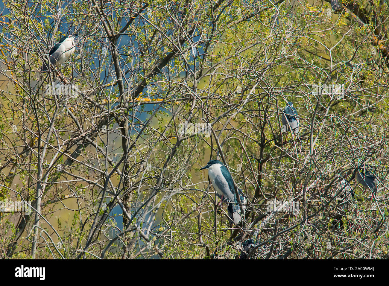 black-crowned night herons, Sarchinger Weiher, Bavaria, Germany, (Nycticorax nycticorax) Stock Photo