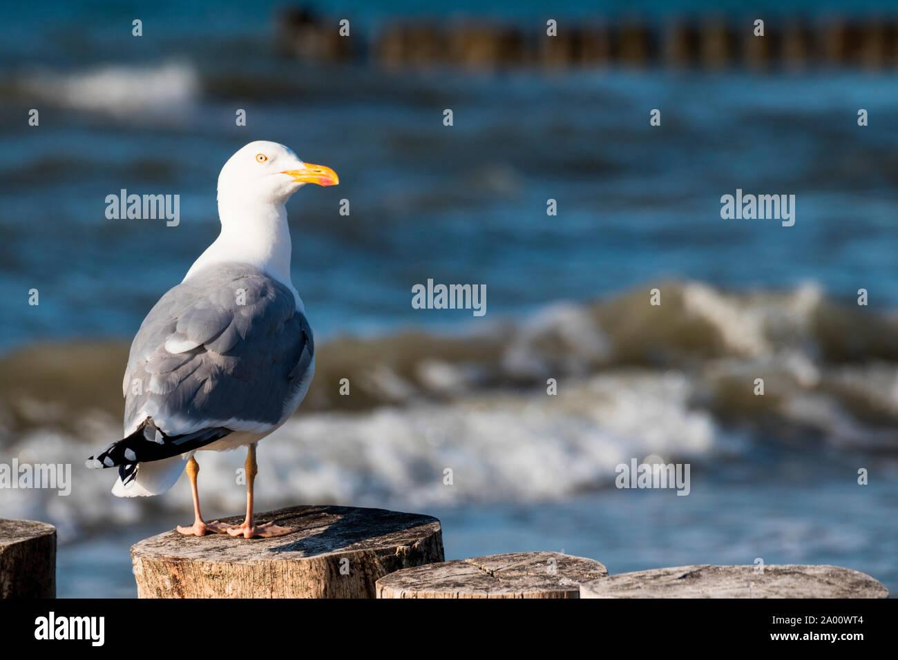 Herring Gull, Mecklenburg-Vorpommern, Germany, (Larus argentatus) Stock Photo