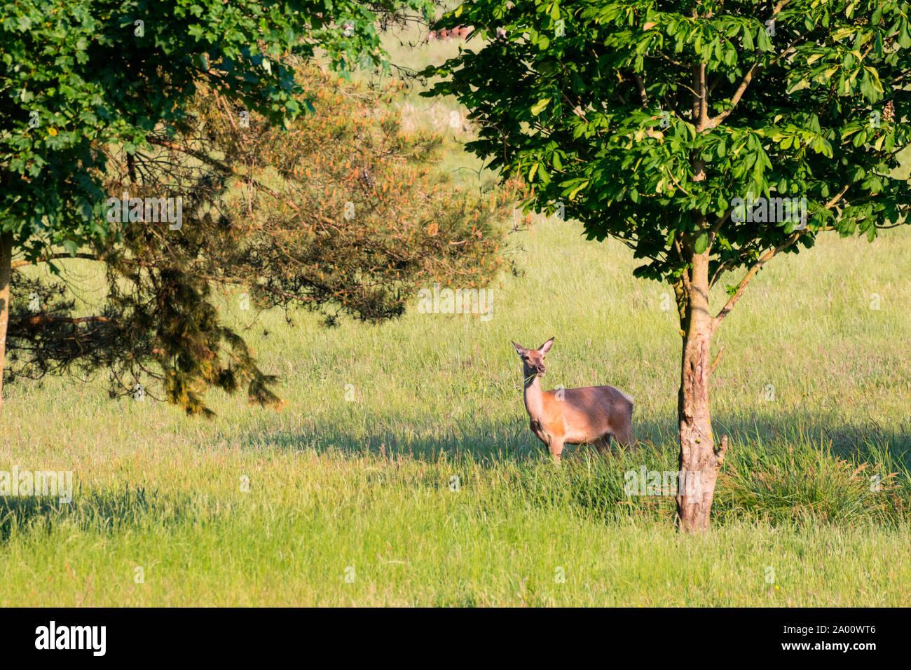 Red Deer, hind, Darss, Mecklenburg-Vorpommern, Germany, (Cervus elaphus) Stock Photo