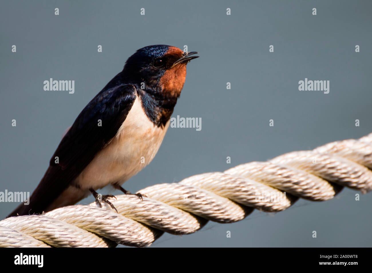 Barn swallow, Zingst, Mecklenburg-Vorpommern, Germany, (Hirundo rustica) Stock Photo