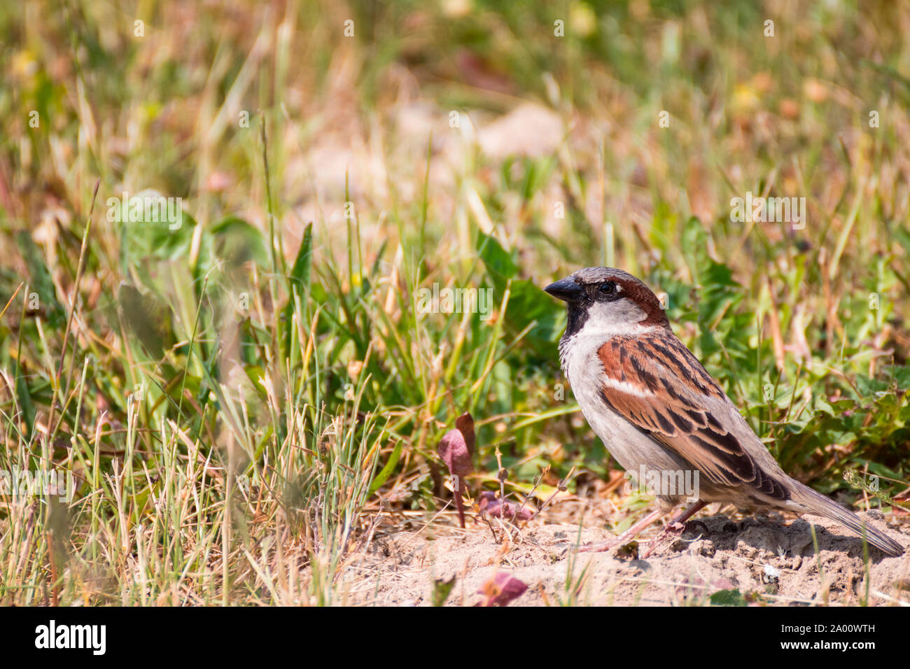 House sparrow, Zingst, Mecklenburg-Vorpommern, Germany, (Passer domesticus) Stock Photo