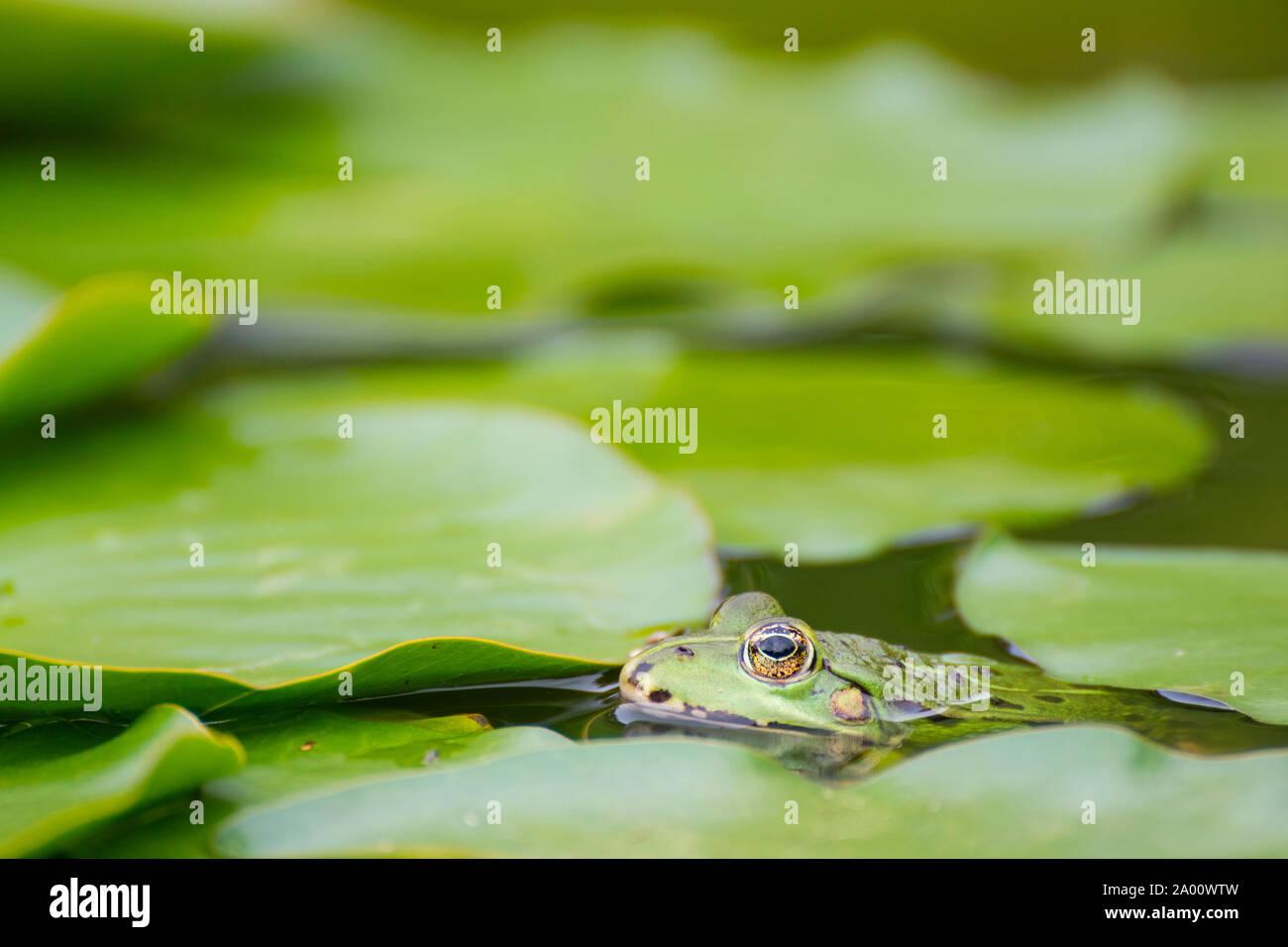 Green frog, Common water frog, Zingst, Mecklenburg-Vorpommern, Germany, (Pelophylax kl. esculentus) Stock Photo