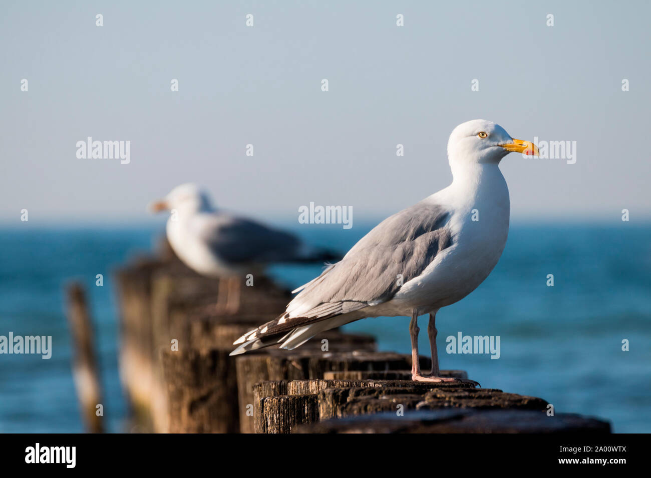 Herring Gull, Mecklenburg-Vorpommern, Germany, (Larus argentatus) Stock Photo