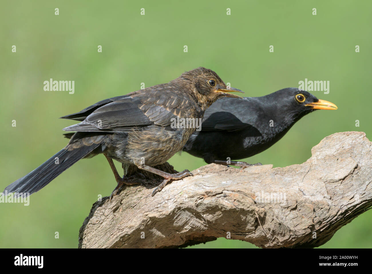 Blackbirds, male with young, Natural park Munden, Lower Saxony, Germany, (Turdus merula), M Stock Photo