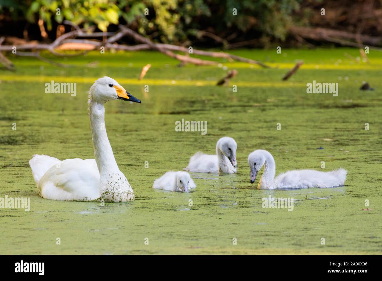 Whooper swan with cygnets, Schleswig-Holstein, Germany , (Cygnus cygnus) Stock Photo