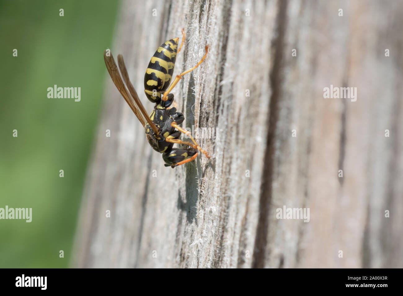 European paper wasp, Natural park Munden, Lower Saxony, Germany (Polistes dominula), M Stock Photo