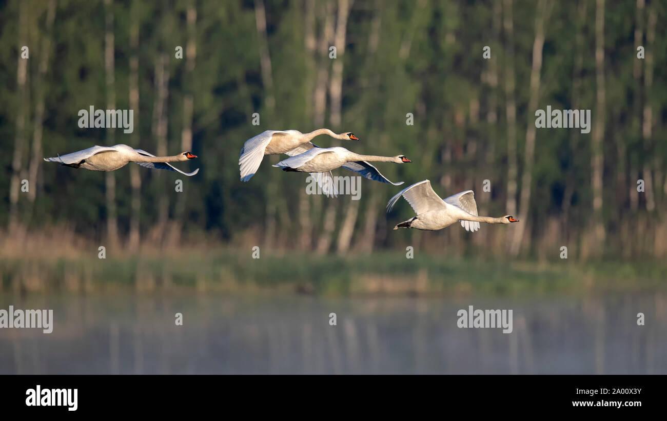 Mute Swans, Lusatia, Saxony, Germany, (Ardea cinerea) Stock Photo
