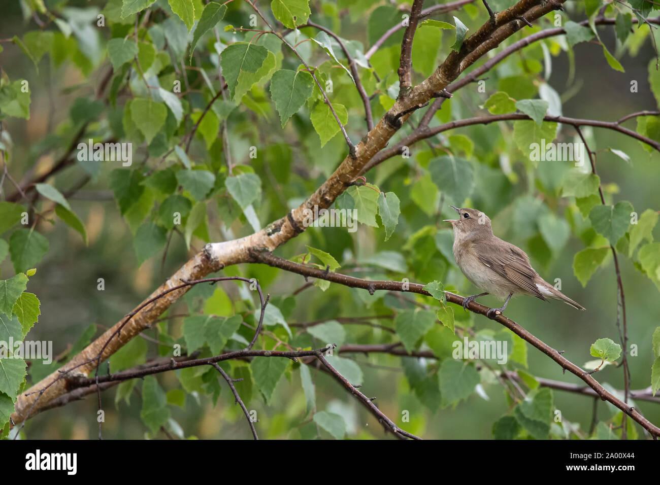 Willow Warbler, Lusatia, Saxony, Germany, (Phylloscopus trochilus) Stock Photo