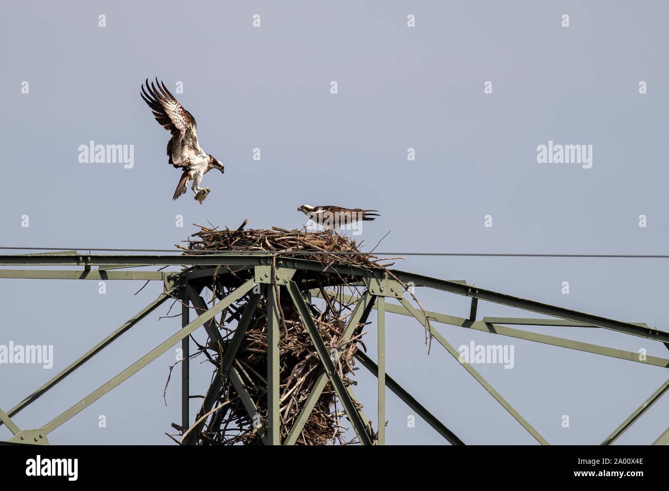 Osprey, Lusatia, Saxony, Germany, (Pandion haliaetus) Stock Photo