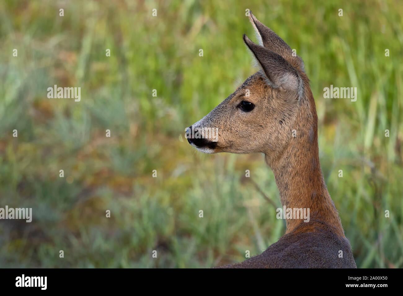 Roe Deer doe, Lusatia, Saxony, Germany, (Capreolus capreolus) Stock Photo
