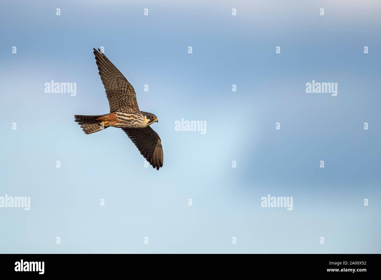 Red-footed Falcon, Lusatia, Saxony, Germany, (Falco vespertinus) Stock Photo