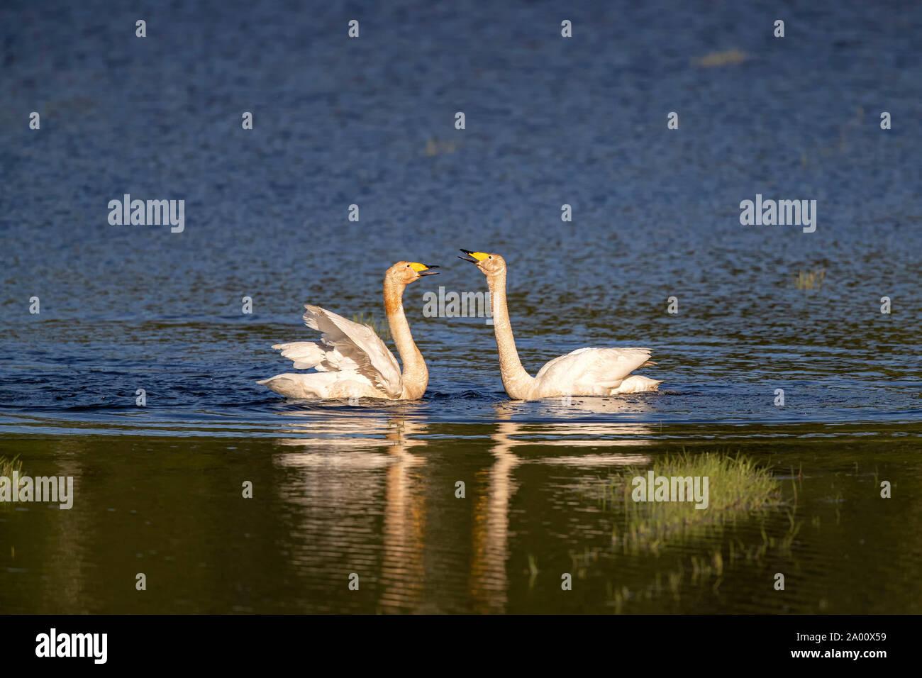 Whooper Swans, Lusatia, Saxony, Germany, (Cygnus cygnus) Stock Photo