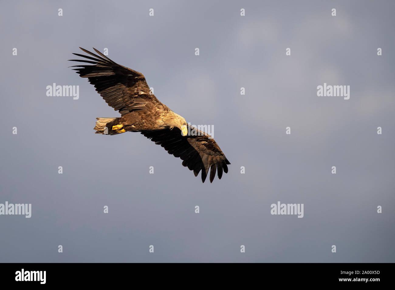 White-tailed Sea Eagle, Lusatia, Saxony, Germany, (Haliaeetus albicilla) Stock Photo