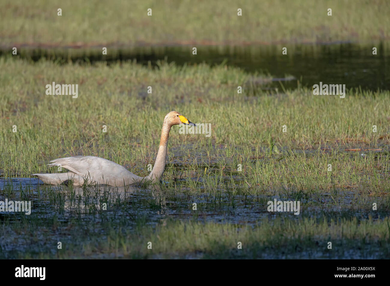 Whooper Swan, Lusatia, Saxony, Germany, (Cygnus cygnus) Stock Photo