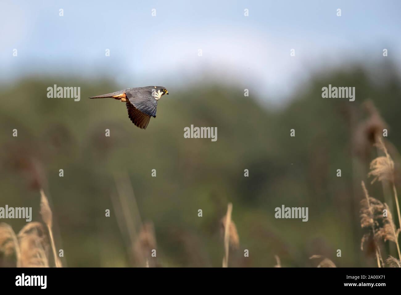 Red-footed Falcon, Lusatia, Saxony, Germany, (Falco vespertinus) Stock Photo