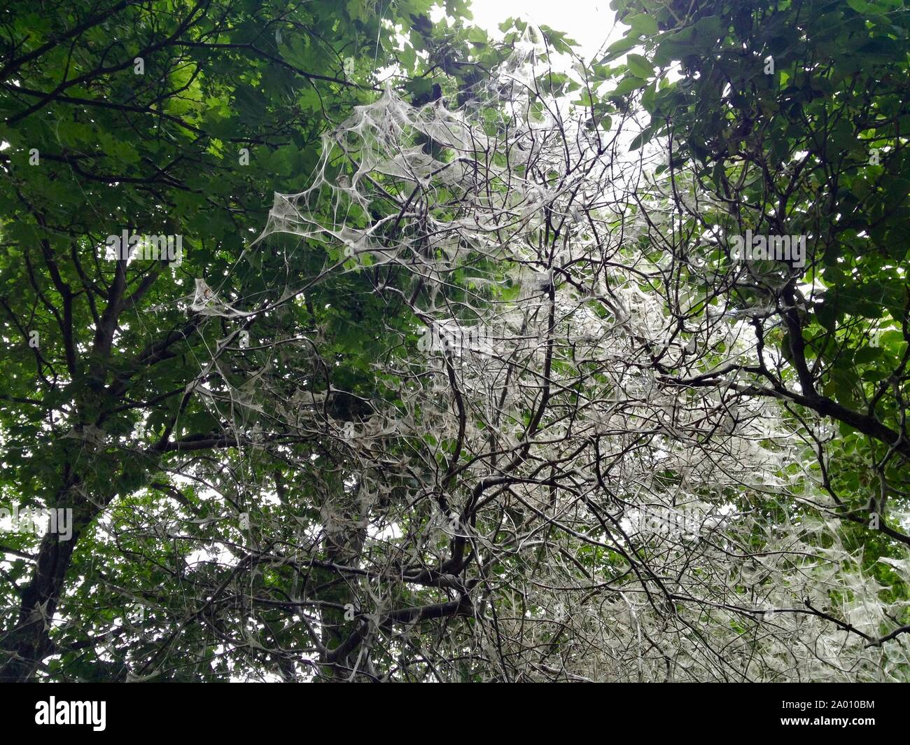 Trees / Bushes covered in Webs by the Ermine Moth (Gespinstmotte) looking spooky/scary in a Berlin Public Park Stock Photo