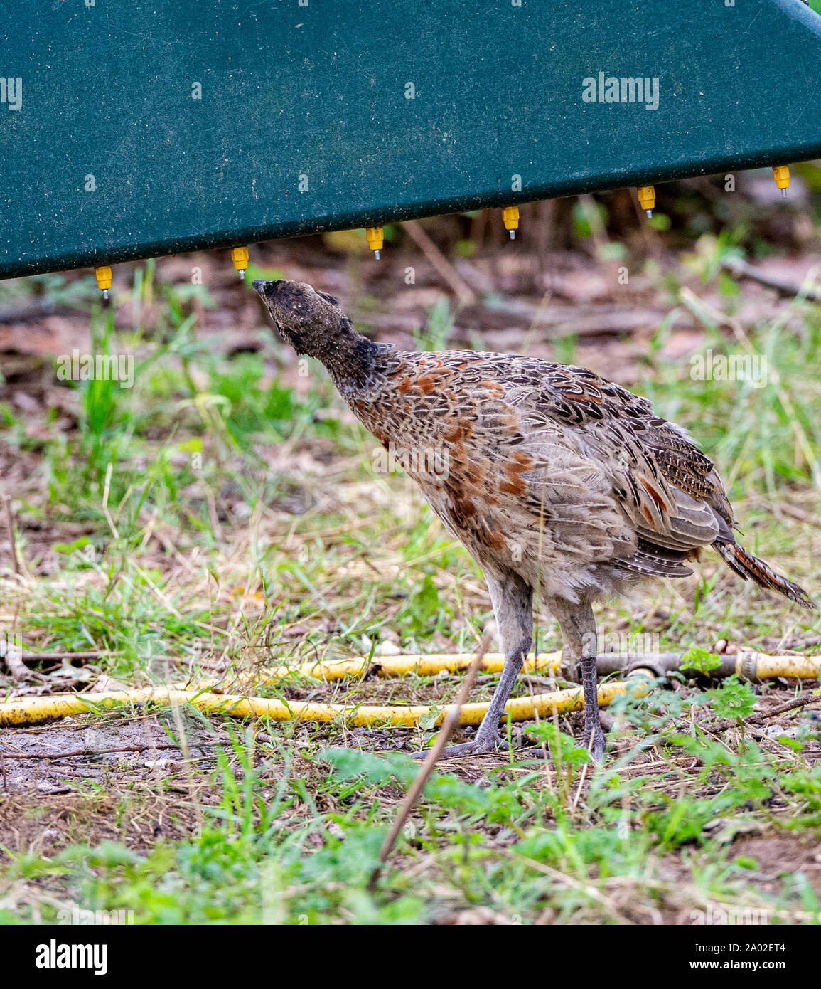 Ten week old pheasant chick, (Phasianus colchicus) often known as a poult, drinking on a drinking system, after being released into a gamekeepers release pen on an English estate Stock Photo