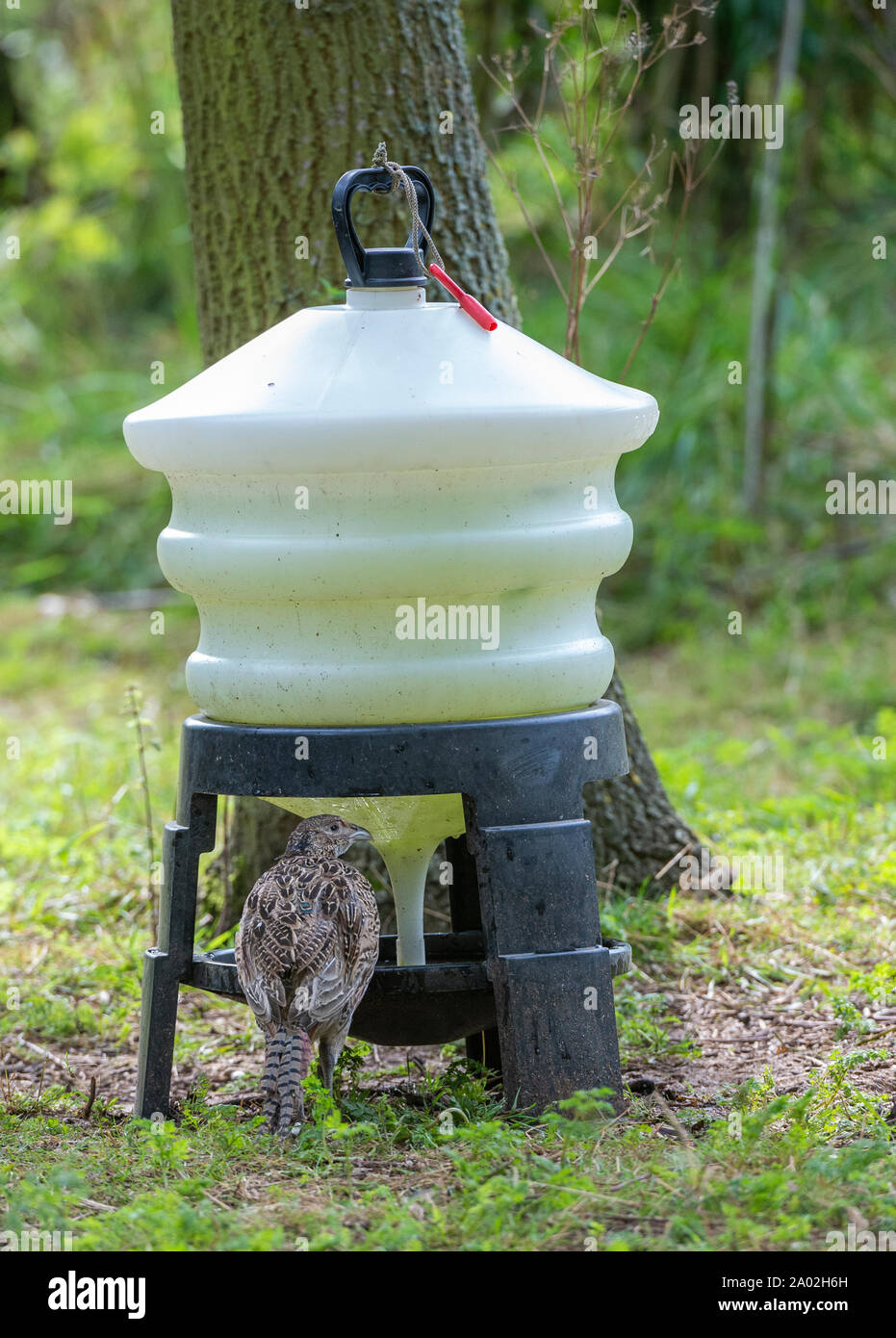 Ten week old pheasant chicks, (Phasianus colchicus) often known as poults, after being released into a gamekeepers release pen on an English estate Stock Photo