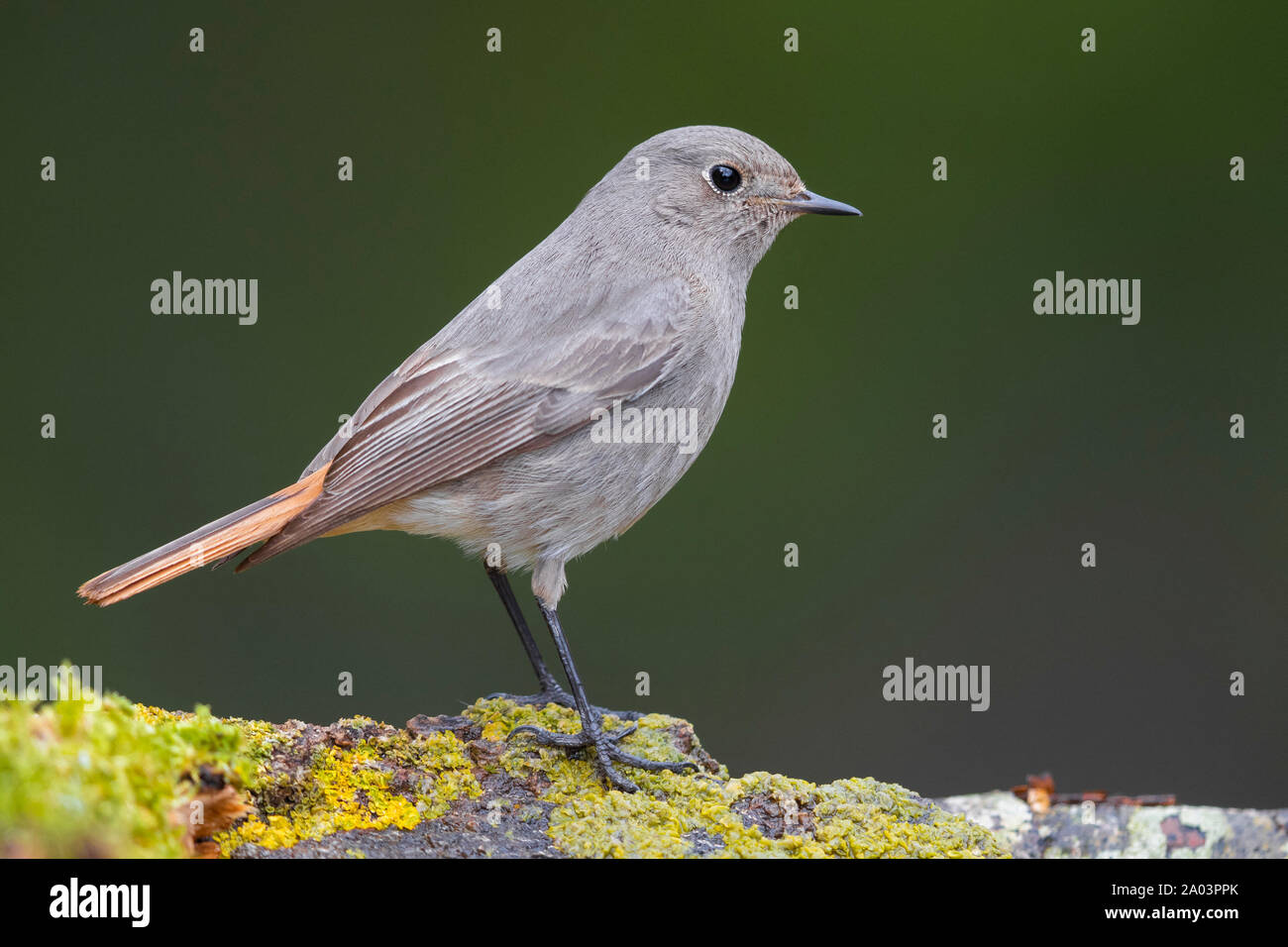 Black Redstart (Phoenicurus ochruros gibraltariensis), side view of an individual perched on a piece of a bark, Campania, Italy Stock Photo