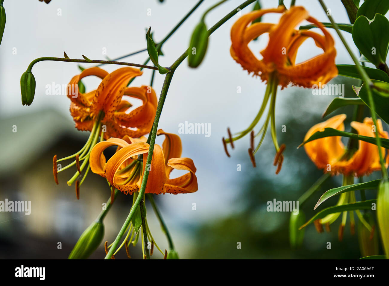 Tiger lily, Lilium lancifolium, with orange blossoms and long pistils and pollen stems, with closed and open blossoms, with blurred background. Stock Photo
