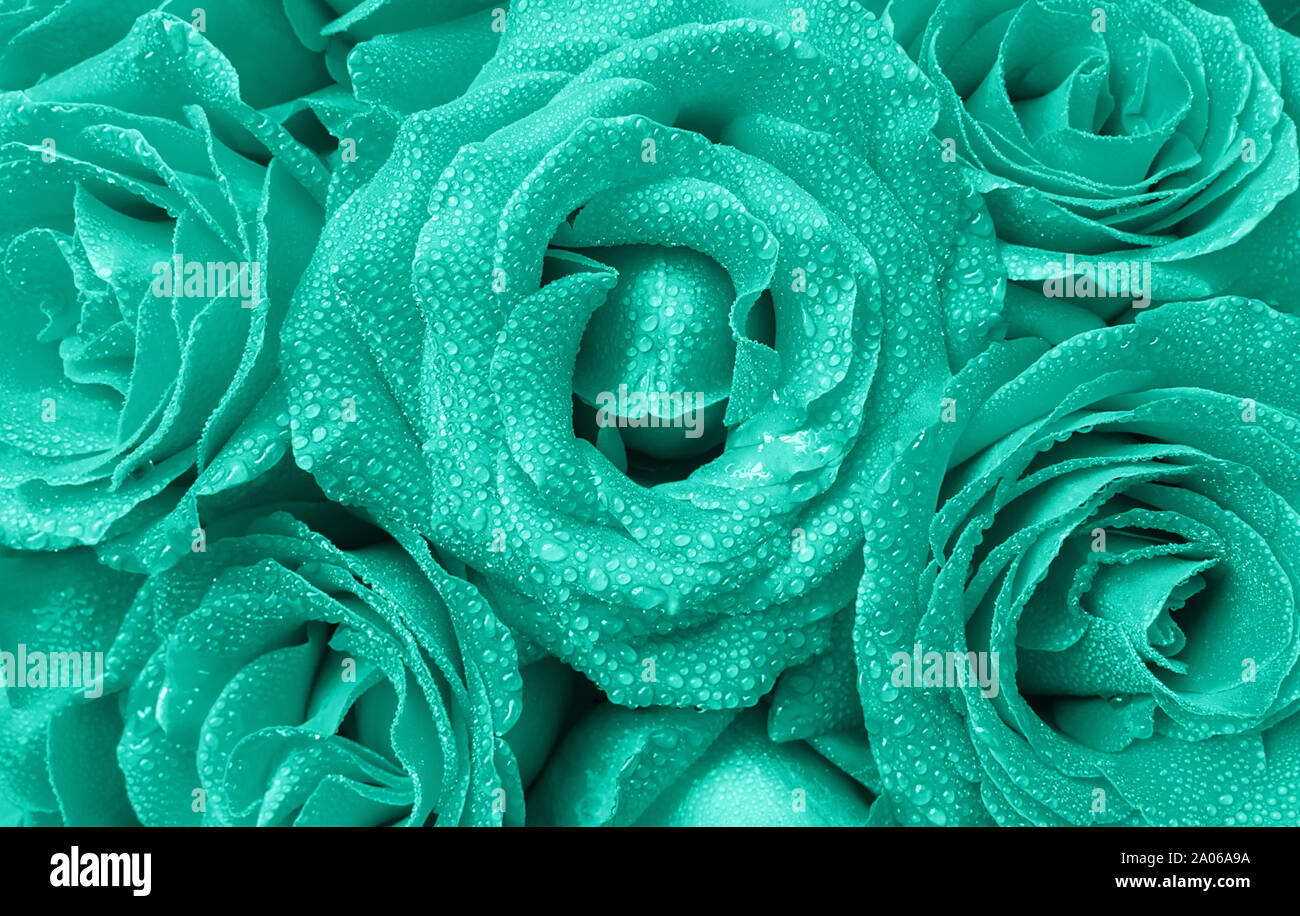 Floral Background Of Beautiful Roses Buds With Water Droplets On The Petals In Trendy Mint Color Top View Stock Photo Alamy