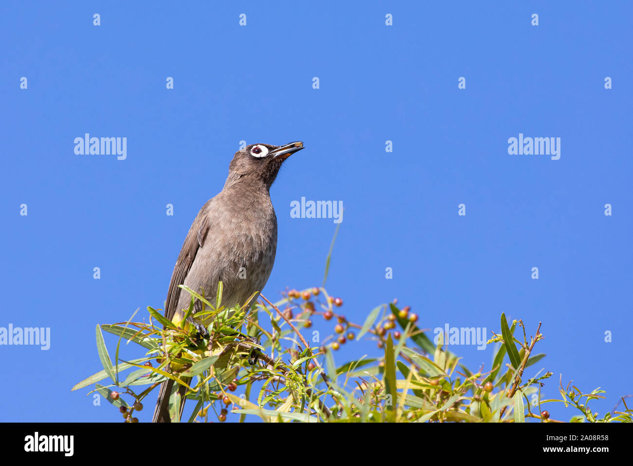 Cape Bulbul (Pycnonotus capensis) eating  berries on a Karee Tree (Searsia lancea)  in winter, Western Cape, South Africa perched with berry in beak Stock Photo