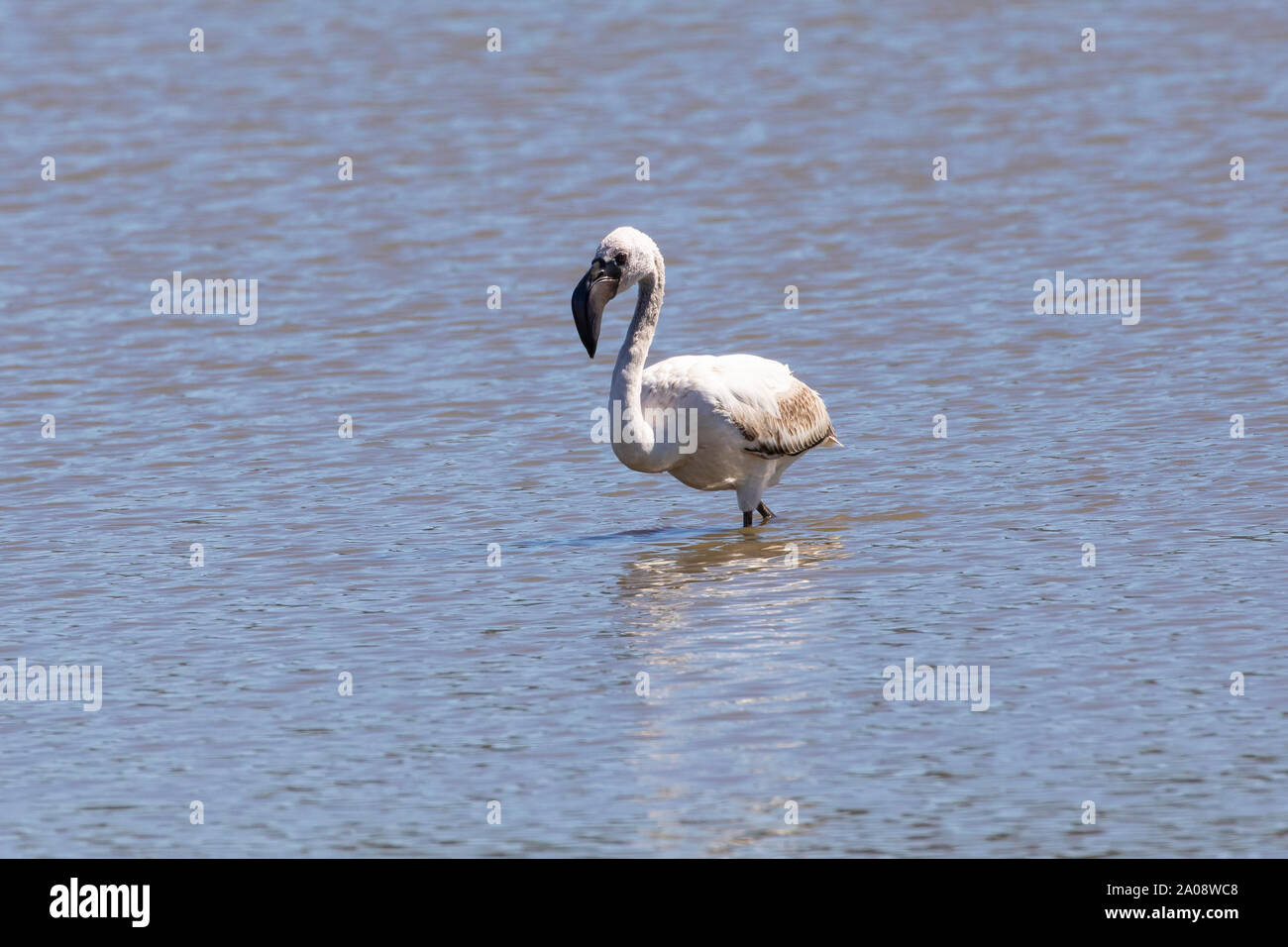 Juvenile Lesser Flamingo, (Phoeniconaias minor) foraging,  Vermont Salt Pan, Hermanus,  Western Cape, South Africa. Near Threatened species due to pop Stock Photo