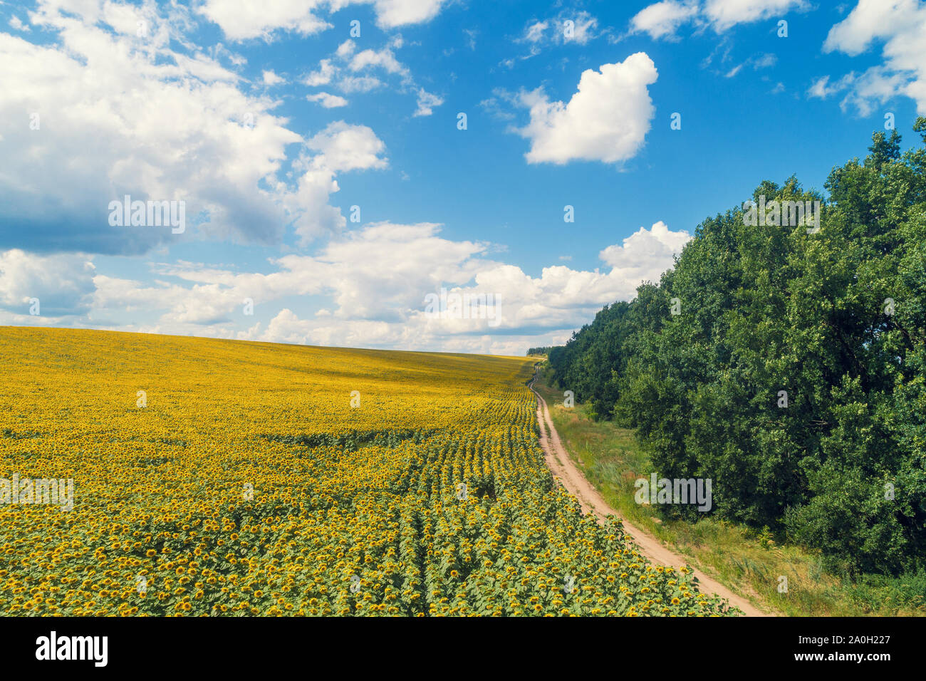 Rural dirt road along the field of sunflowers. Picturesque sunflower field, top view. The rural landscape on a summer sunny day. Nature background Stock Photo
