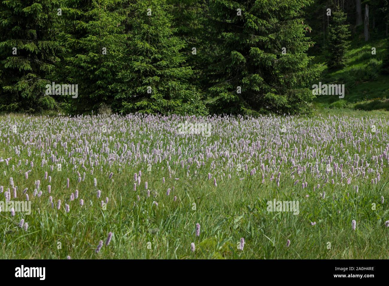 Knoeterich, Persicaria, knotweeds Stock Photo