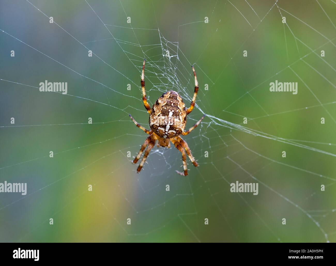 Brightly coloured Garden Cross spider (Araneus diadematus) awaiting prey in the centre of it's web Stock Photo
