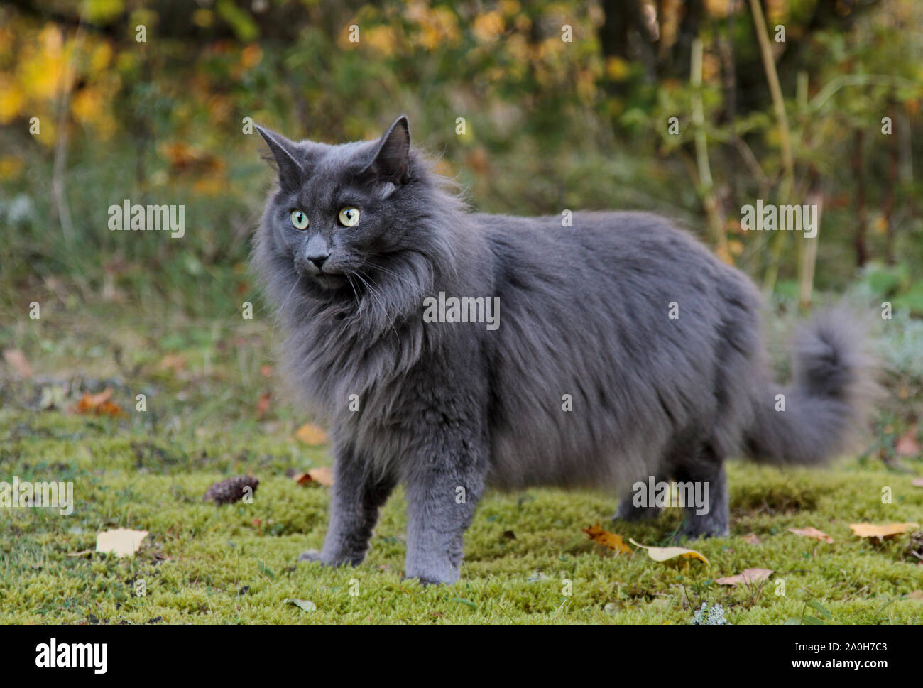 Blue Norwegian Forest Cat Female Standing In A Forest Stock Photo Alamy