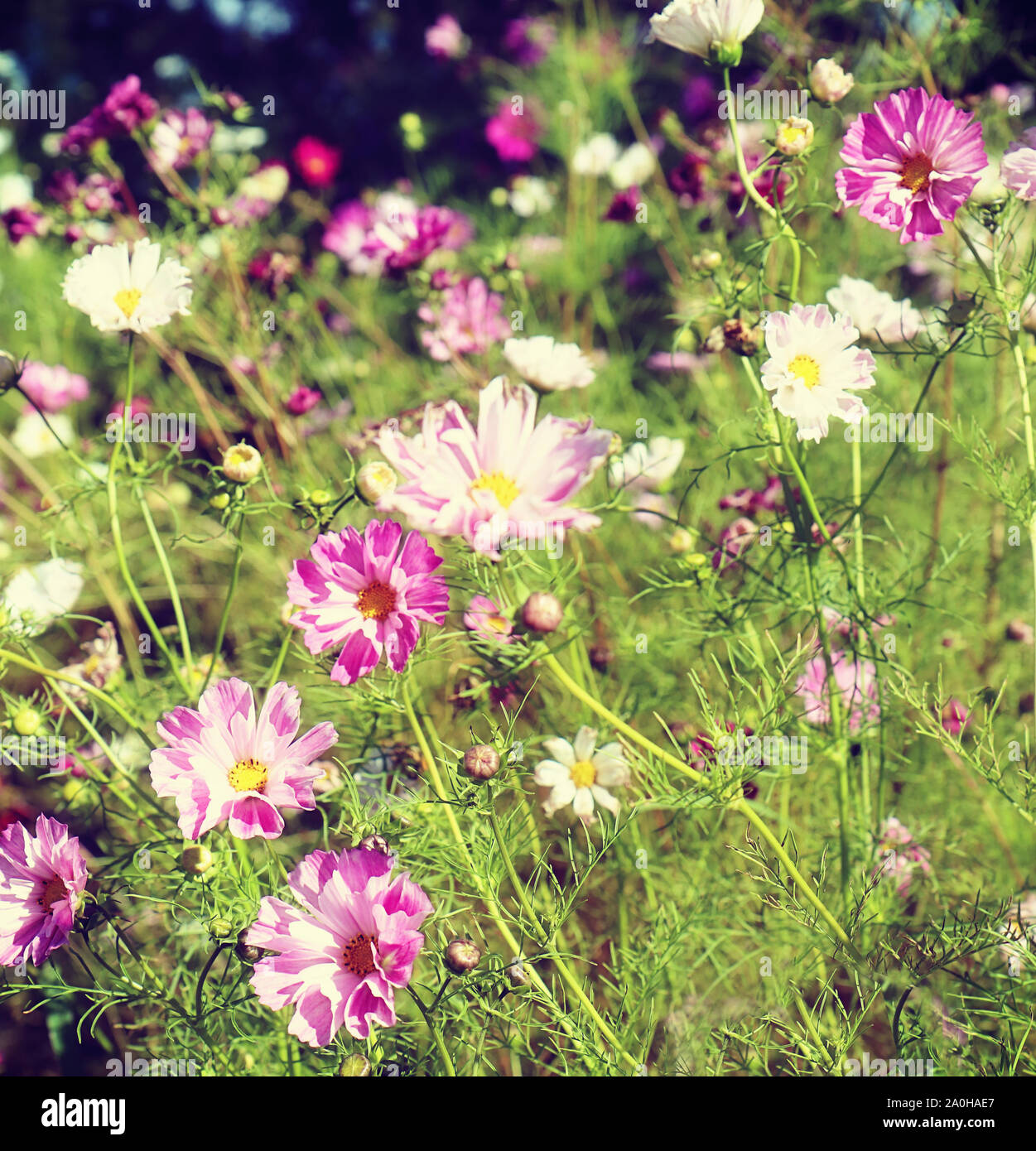Summer meadow in Bavaria coutryside full of beautiful pink daisies Stock Photo