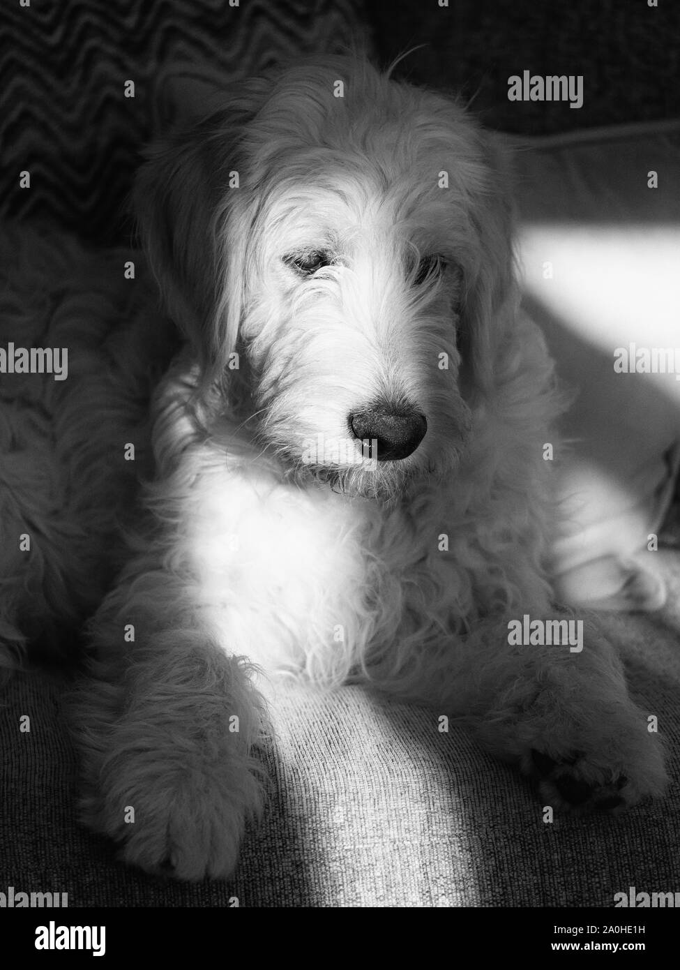 Goldendoodle Puppy Black And White Stock Photos Images Alamy