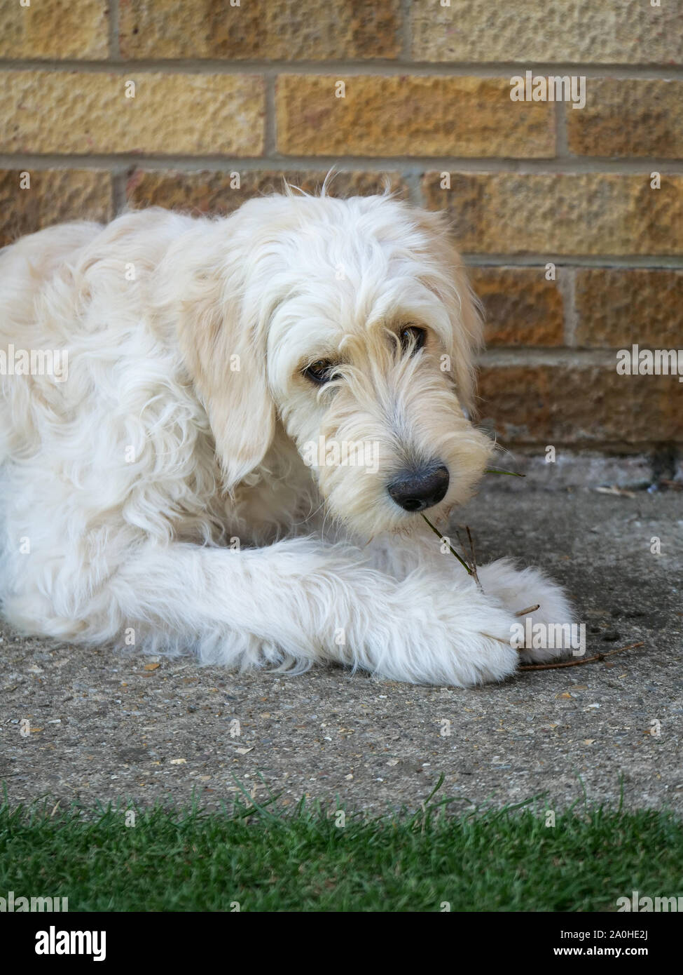 White Goldendoodle Puppy Chewing A Stick Outdoors Stock Photo Alamy