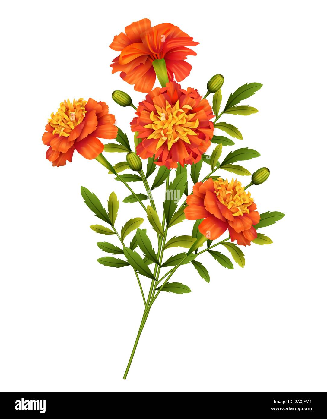 Marigold flowers isolated on white background. Vector illustration Stock Vector