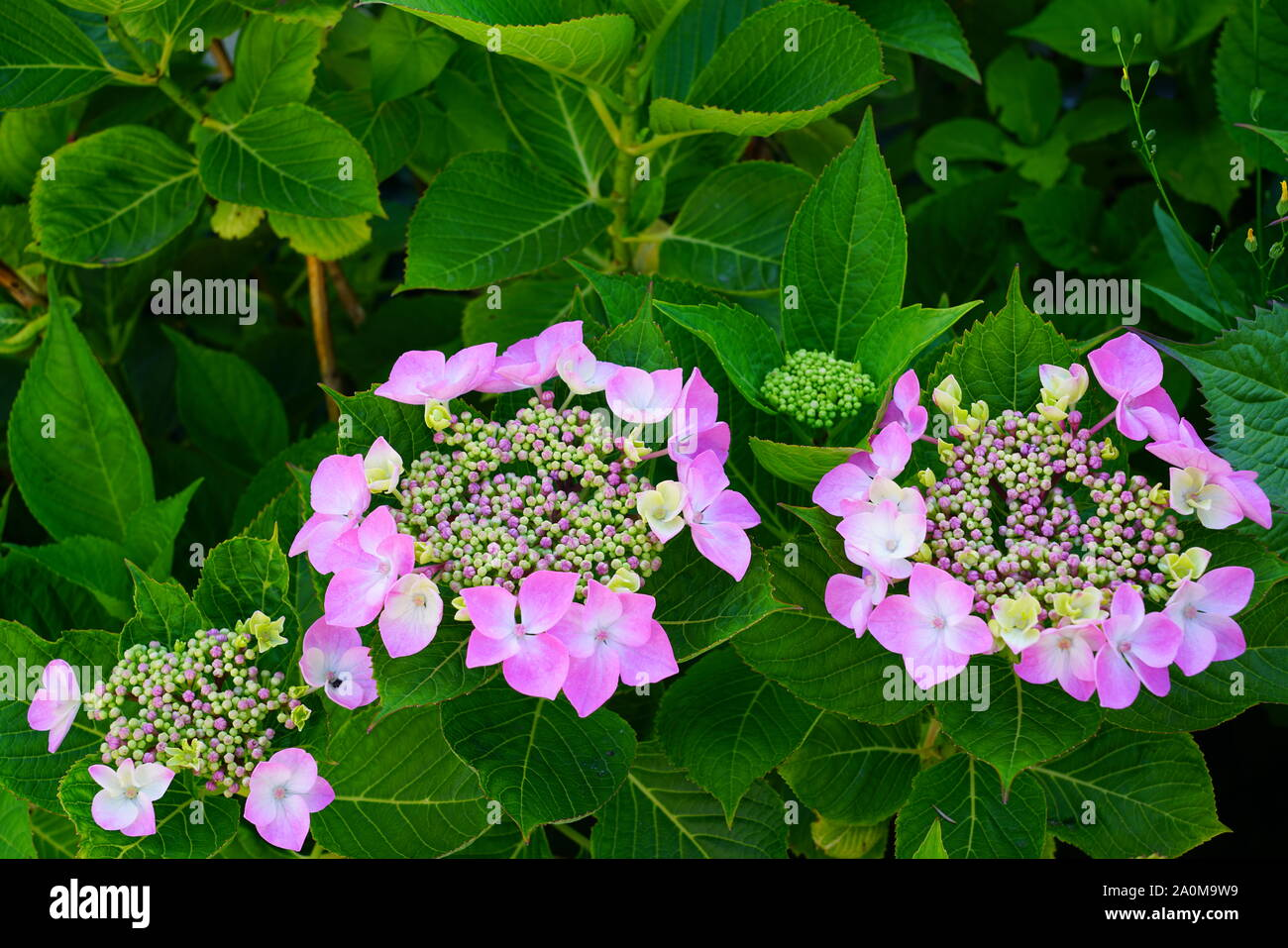 Pink Heads Of Hydrangea Flowers Stock Photo 327443797 Alamy