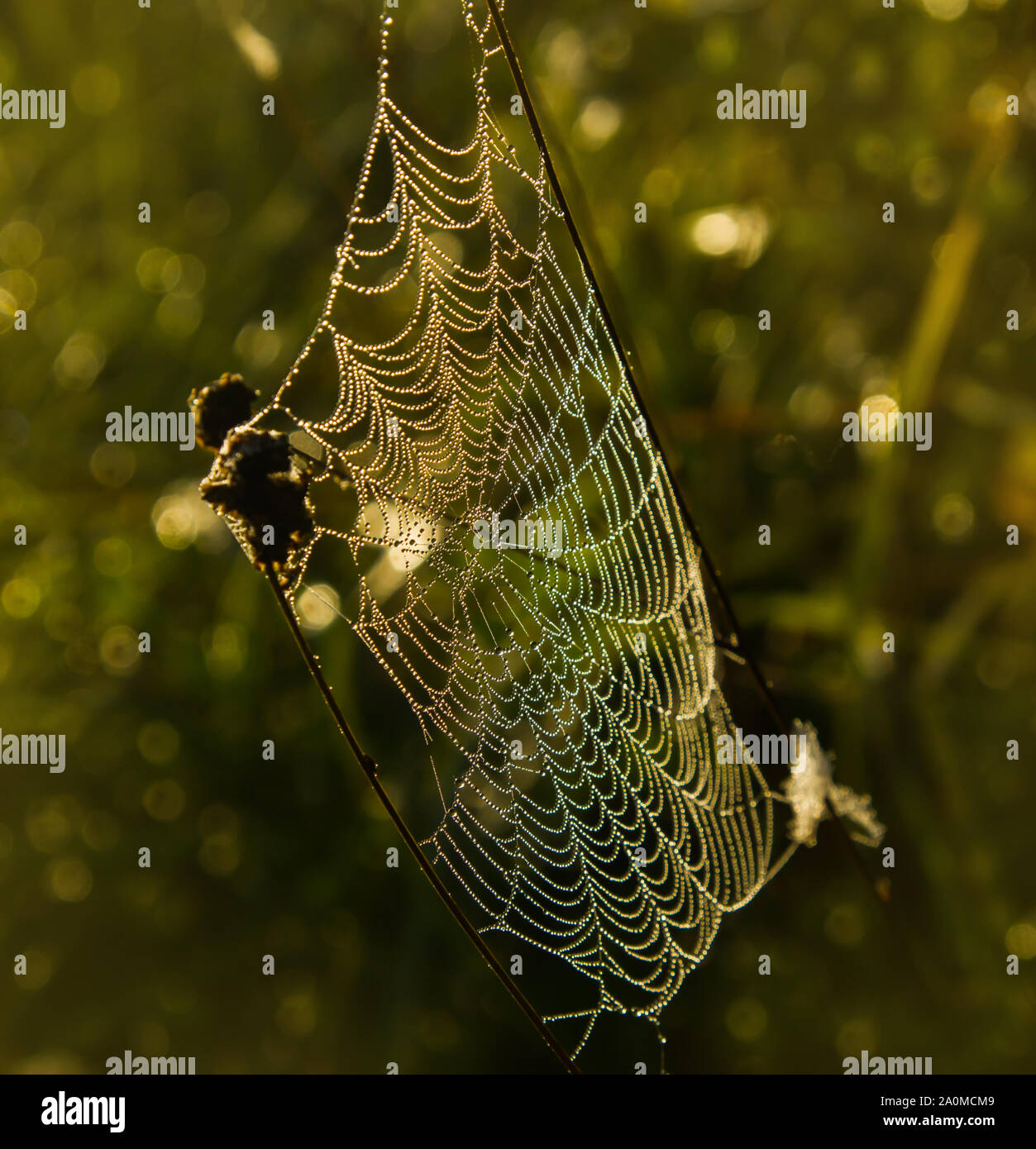 The light of foggy morning painted a web of tangled stalks of dry dew grass in different colors. The drops of morning dew glisten on the web Stock Photo