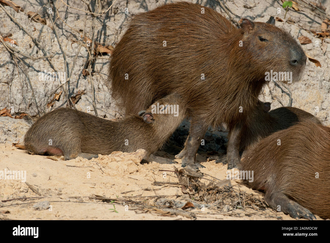 Capybara family in the Pantanal in southern Brazil; young capybaras nursing Stock Photo