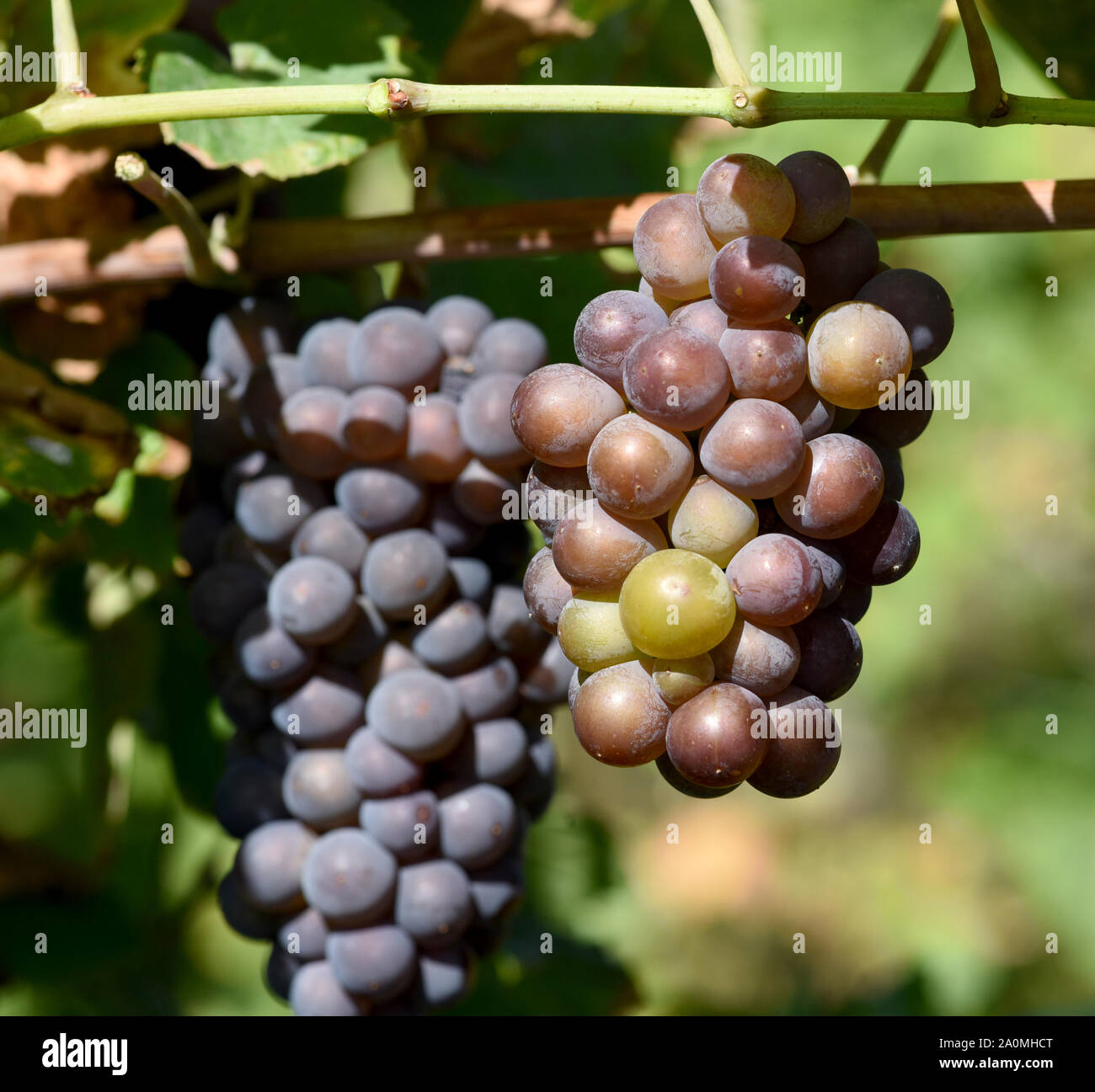 Grauburgunder, Pinot gris, auch genannt Rulaender ist eine Weissweinsorte, die hauptsaechlich am Rhein und an der Mosel zu Wein vergoren wird. The Gra Stock Photo