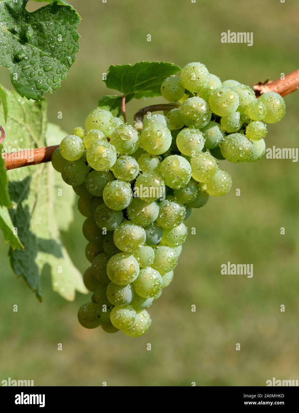 Die Rieslingrebe ist eine Weissweinsorte, die hauptsaechlich am Rhein und an der Mosel zu Wein vergoren wird. The Riesling vine is a white wine variet Stock Photo