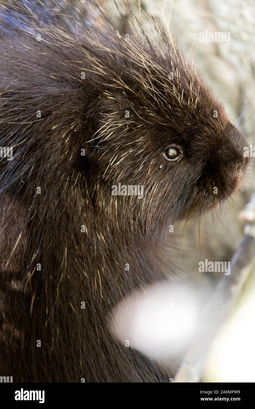Close up shot of head of wild dark colored North American Porcupine (Erethizon dorsatum) Stock Photo