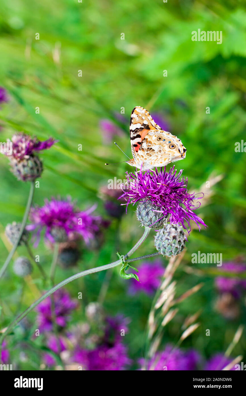 Painted lady butterfly on blooming purple thistle flowers closeup side view, beautiful orange Vanessa cardui on blurred green grass summer field Stock Photo