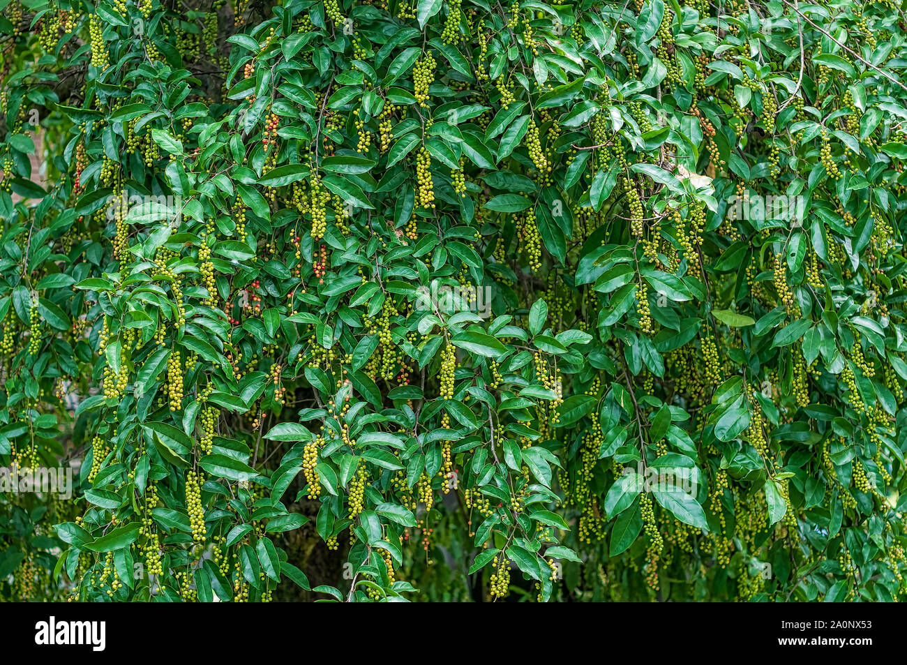 Forest berry tree background, Antidesma puncticulatum Miq. (Mamao)Thai Blueberry Fruit Stock Photo