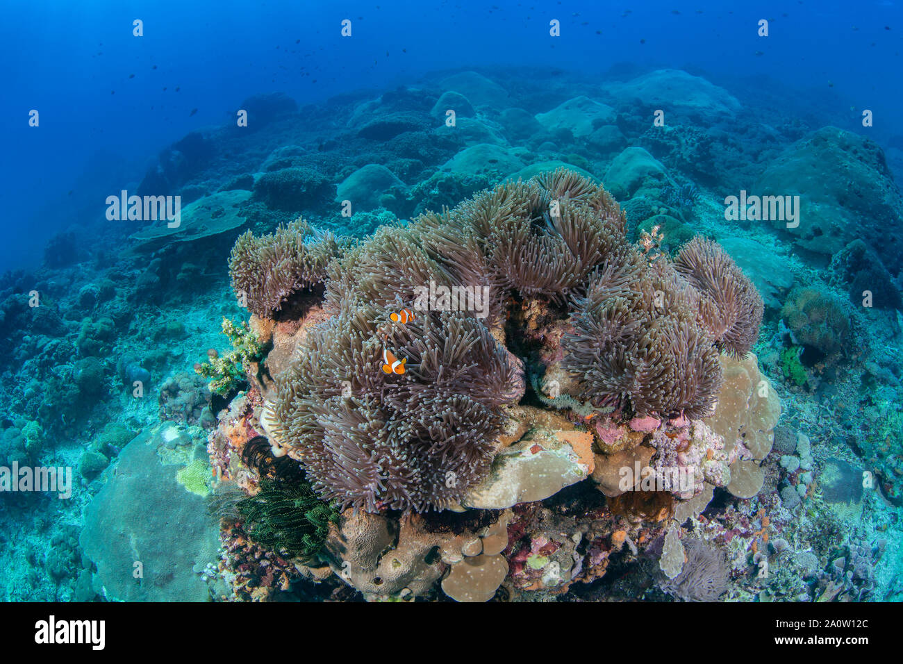 Amphiprion ocellaris clownfish nestling in large magnificent anemone perched on a mountainous coral reef. Nusa Lembongan, Bali, Indonesia. 2016. Stock Photo