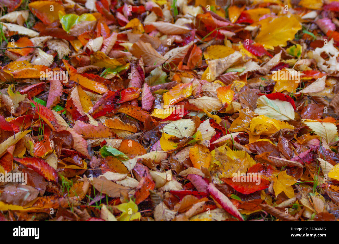 Autumn fall leaves on ground in red, yellow, orange and green colours. Colorful colourful seasonal outdoor foliage fall background Stock Photo