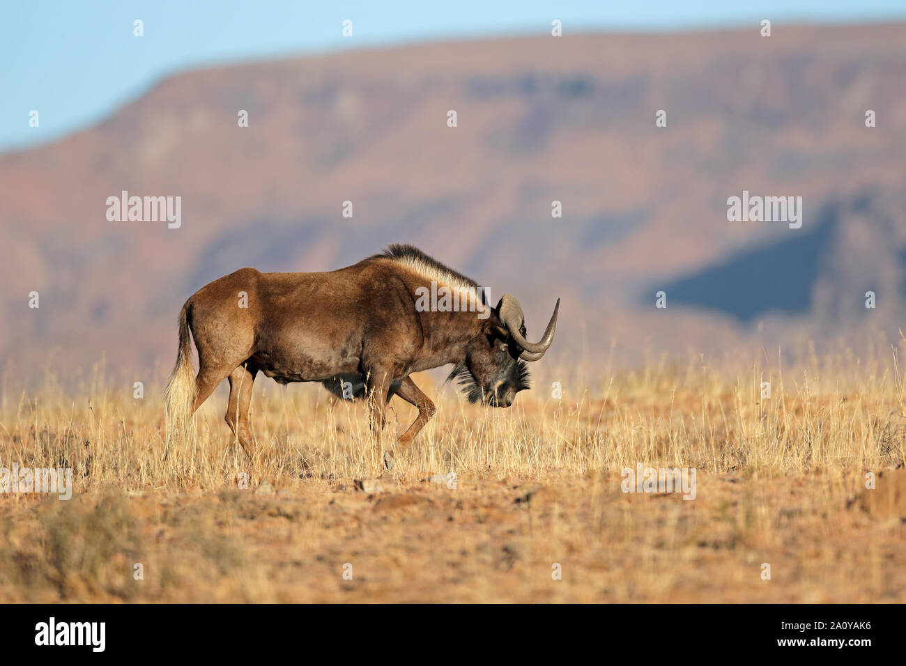 A black wildebeest (Connochaetes gnou) in natural habitat, Mountain Zebra National Park, South Africa Stock Photo