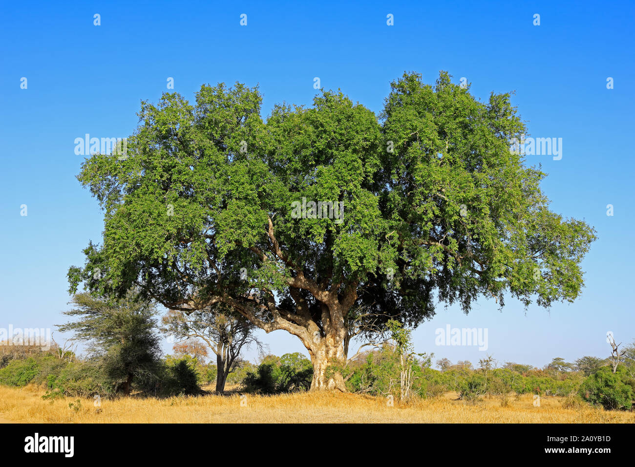 Large African sycamore fig tree (Ficus sycomorus), Kruger National Park, South Africa Stock Photo